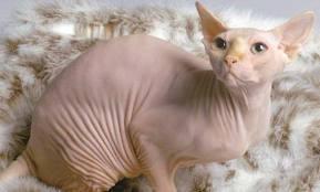 obrijana maca je udarala slike lezbijskih orgija